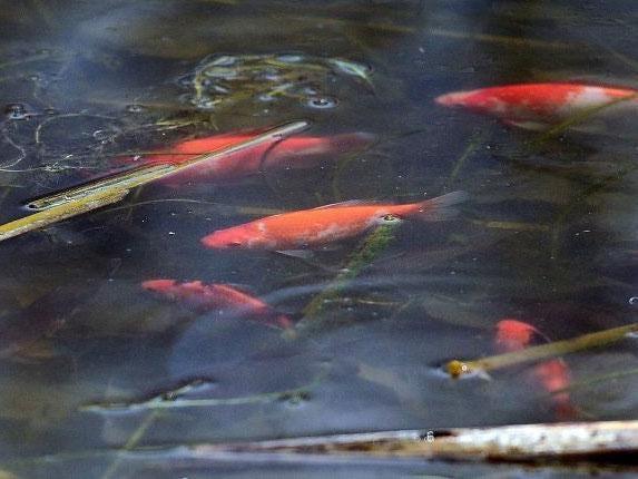 Colorado-goldfish.jpg