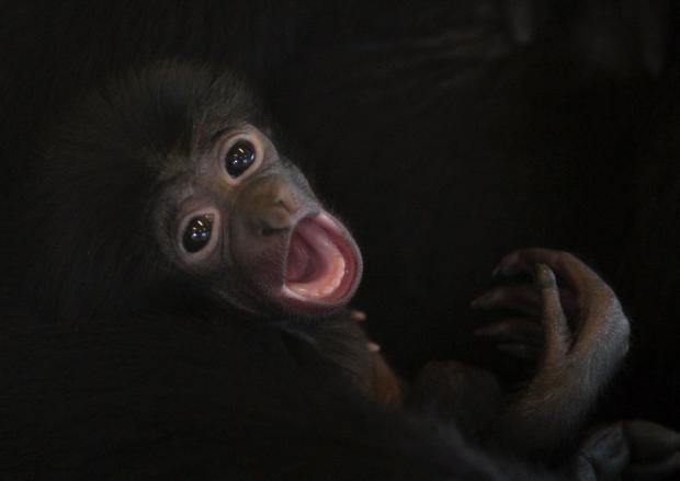 Gibbon.png