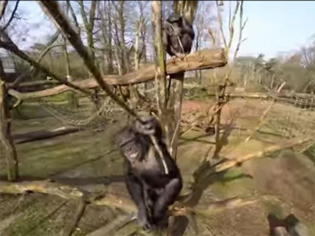 Chimpanzee-drone.jpg