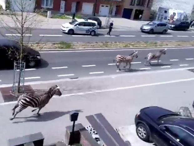 Zebras-brussels.jpg