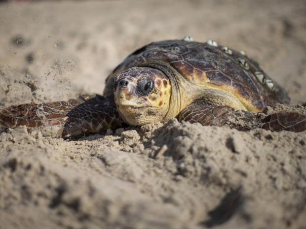 11-Loggerhead-Turtle-Get.jpg