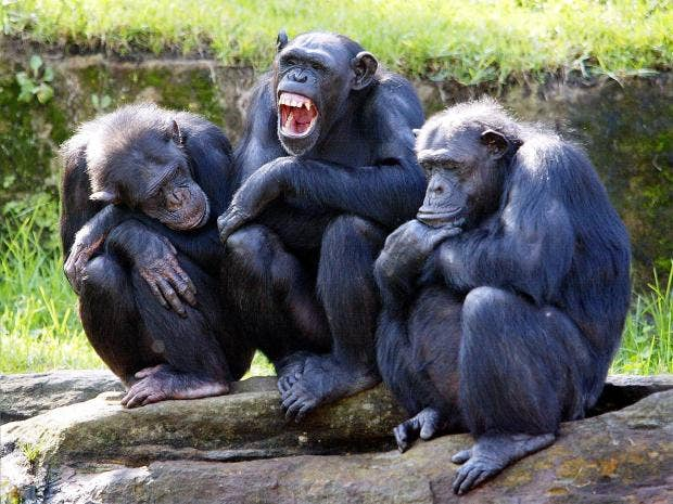 pg-26-chimps-getty.jpg