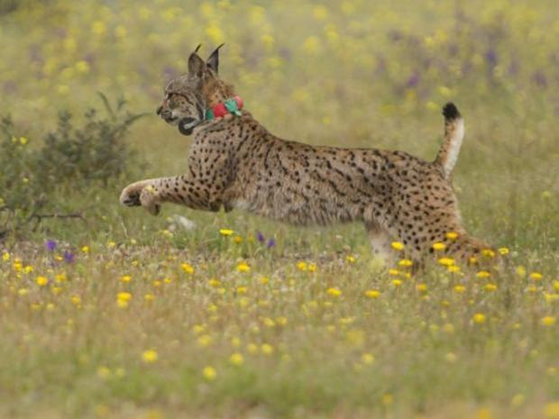 26-Iberian-Lynx-AFP.jpg