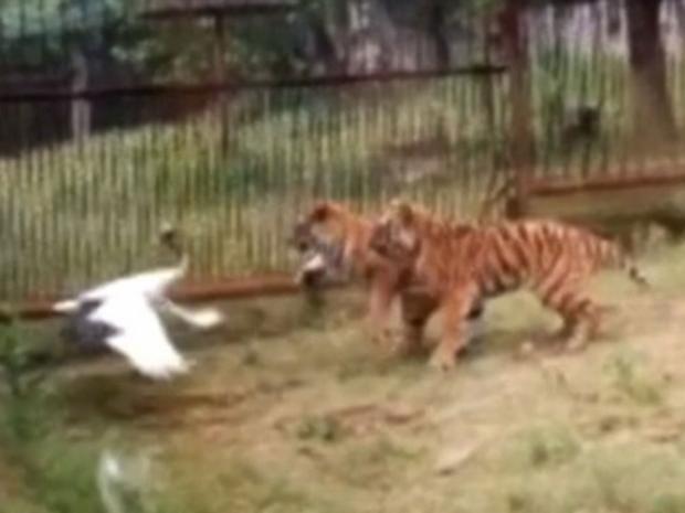 Tiger-attacks-two.jpg