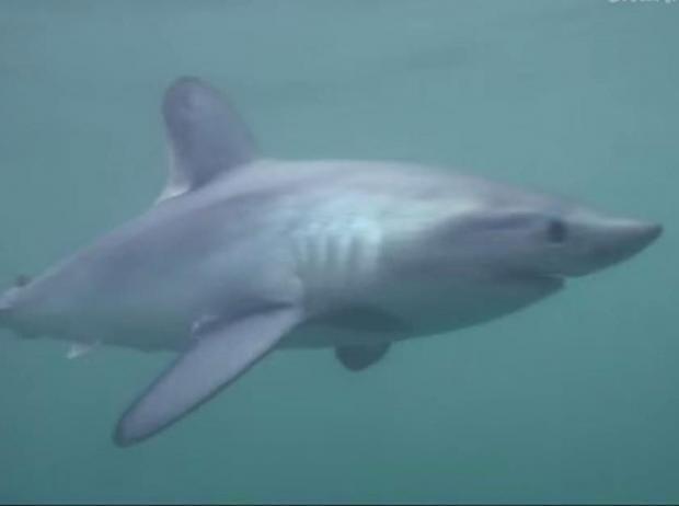 Porbeagle-shark.jpg