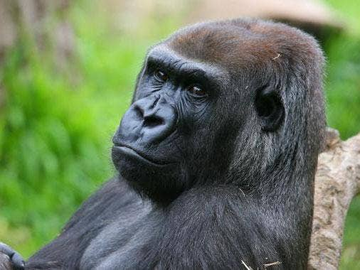 julia-gorilla.jpg