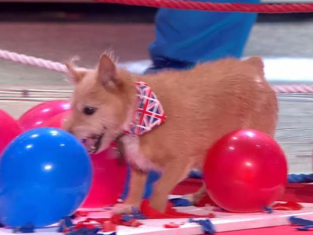 BGT_Dog_Wonderdog_cally_Ballon_popper.jpg