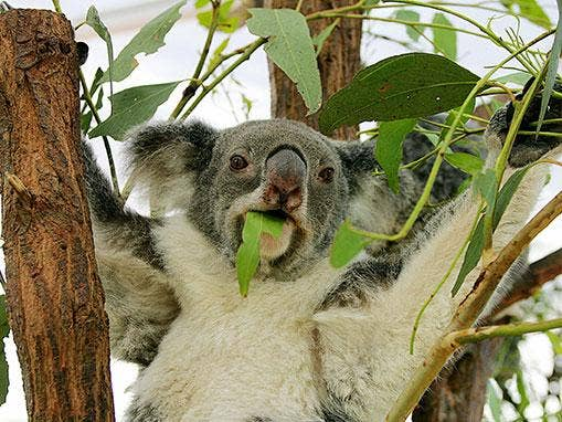 koala-getty-jpeg.jpg