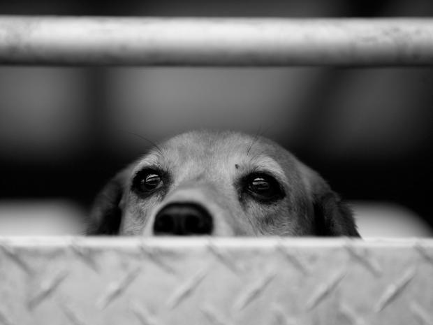 web-beagle-get.jpg