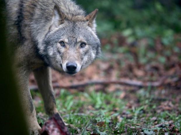 24-France-Wolves-Get.jpg
