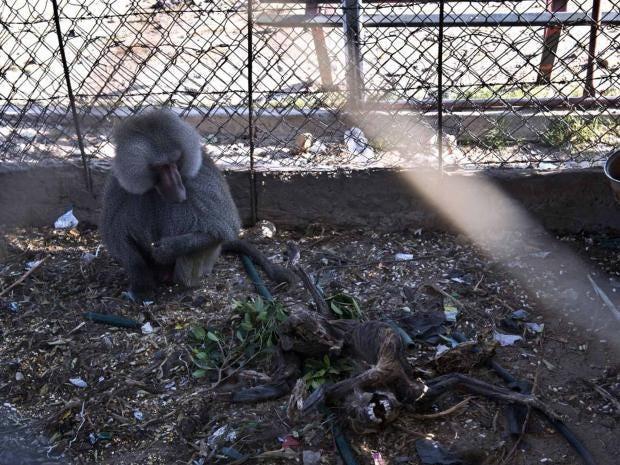 baboon-afp.jpg