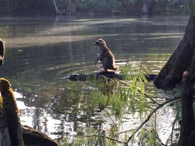Raccoon-alligator.JPG