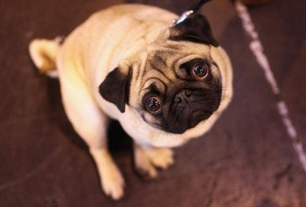 PugGettyImages-110039290.jpg