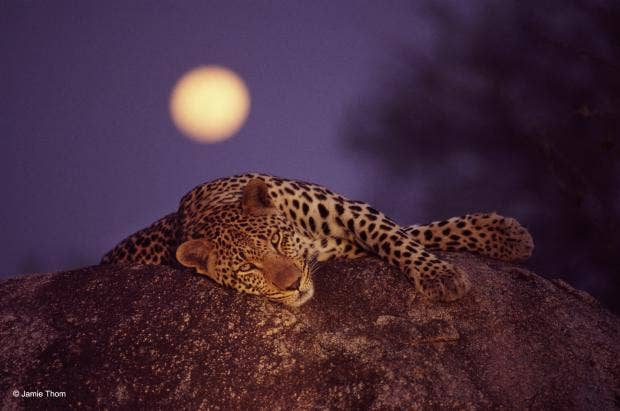 -® Jamie Thom - Leopard with rising moon, 1999.jpg