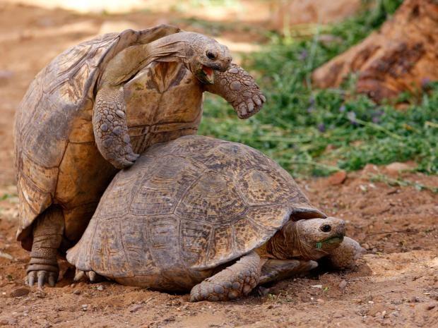 39-Mountain-Tortoise-mating-Hoberman-Collection.jpg