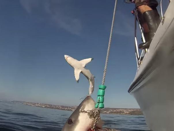 shark-crop.jpg