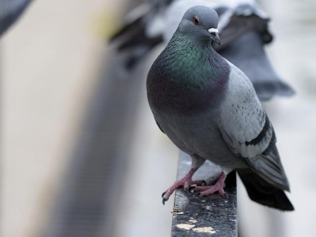 pg-24-pigeons-getty.jpg