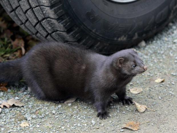 mink-getty.jpg