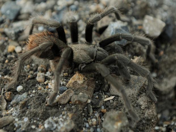 Tarantula-Getty.jpg