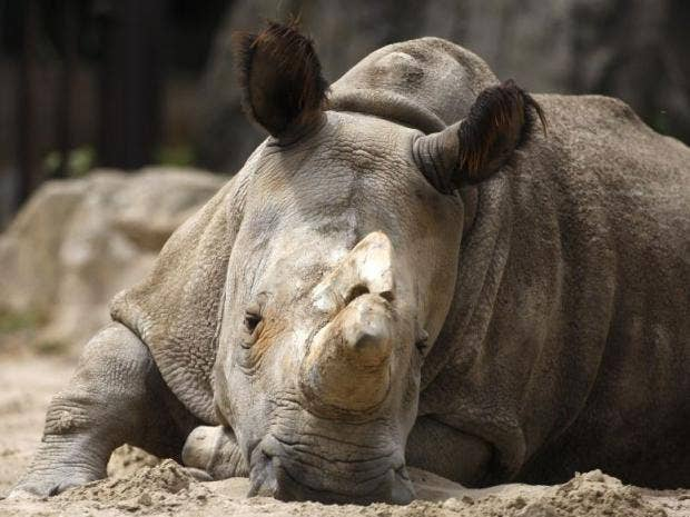 Nabire-northern-white-rhino.jpg