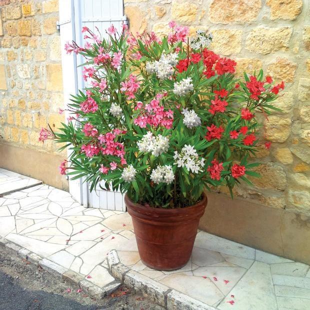 oleander-tri-color_D2.jpg