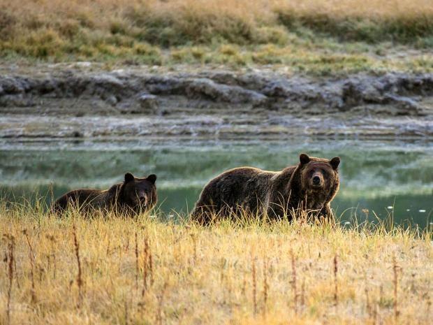 grizzly-yellowstone-getty.jpg
