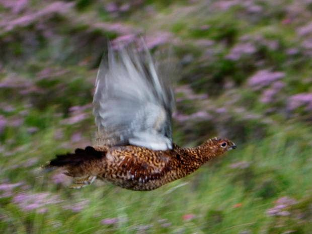 pg-10-grouse-hunting-2-getty.jpg