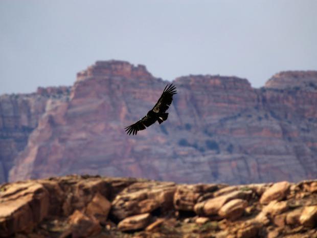 20-Endangered-Condors-Getty.jpg