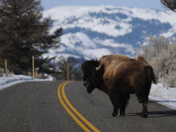 23-BISON-The-Washington-Post.jpg