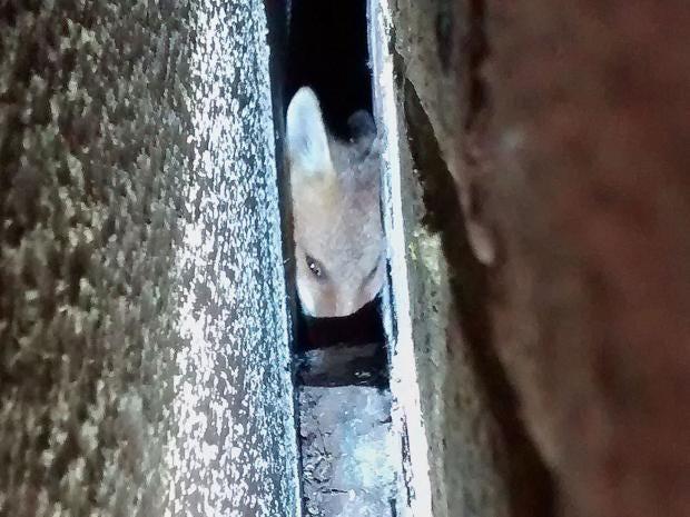 fox-rspca.jpg