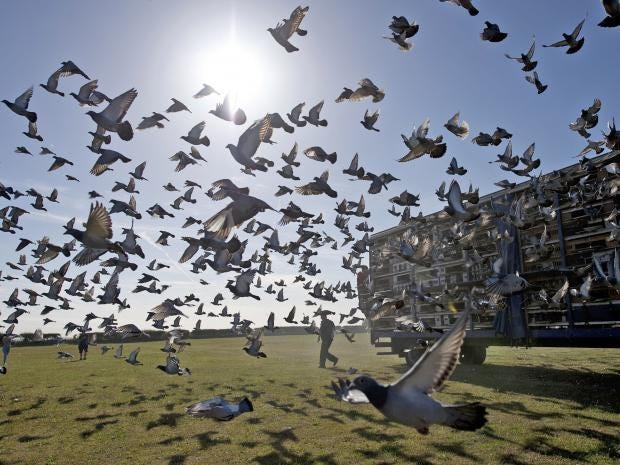 web-racing-pigeons-getty.jpg