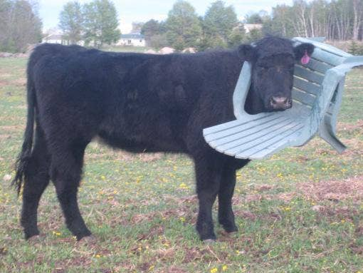A Cow Who Got Its Head Stuck In A Chair Near Boughton Northants Fire  Service/Twitter