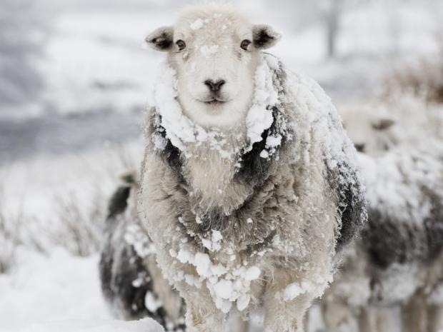 Sheep-Rex.jpg