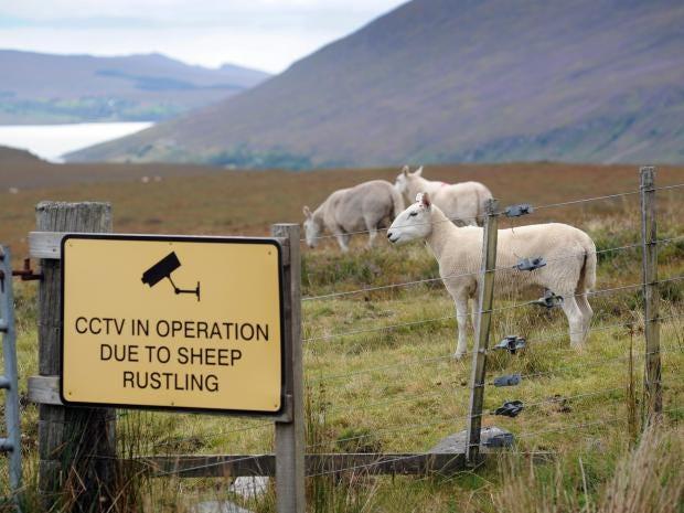 Sheep-Rustling-Alamy.jpg