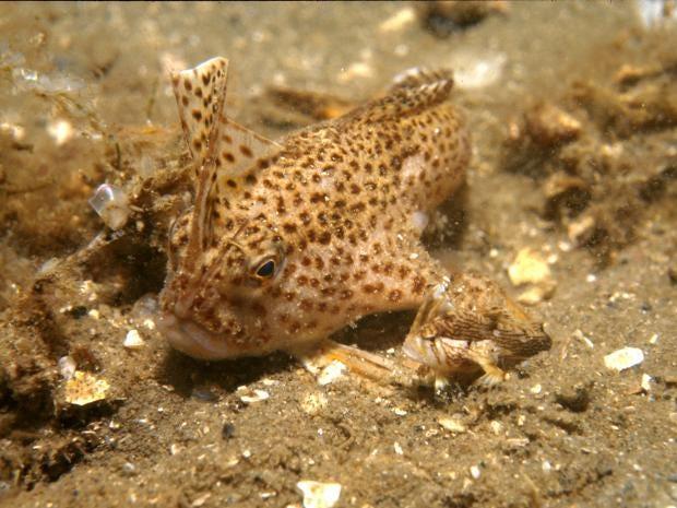 CSIRO_ScienceImage_2753_Adult_and_Juvenile_Spotted_Handfish.jpg
