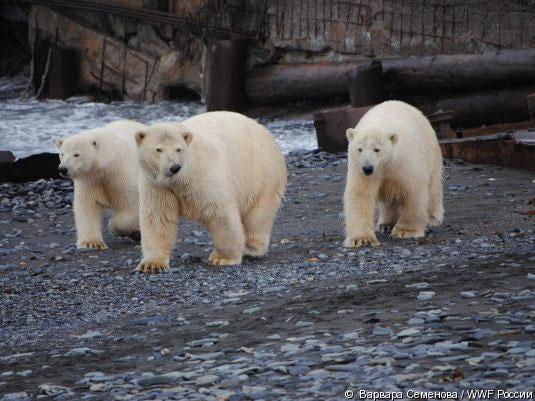 polar-bears.jpg