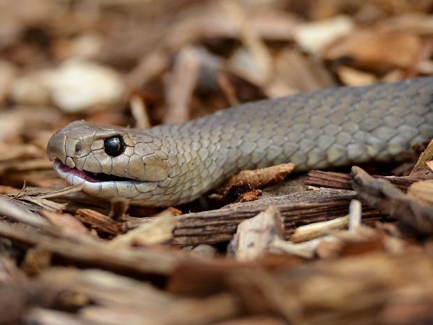 eastern-brown-snake-afp.jpg