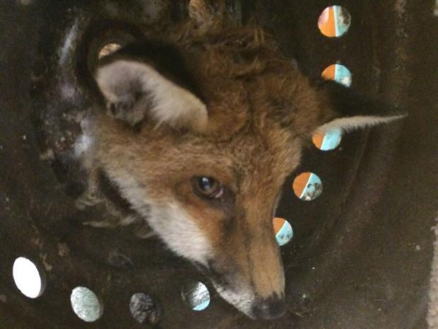 Stuck-fox.jpg