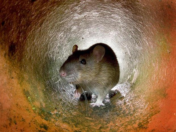 rats-crop.jpg