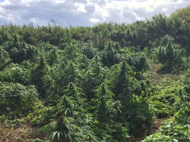 cannabis_forest.jpg