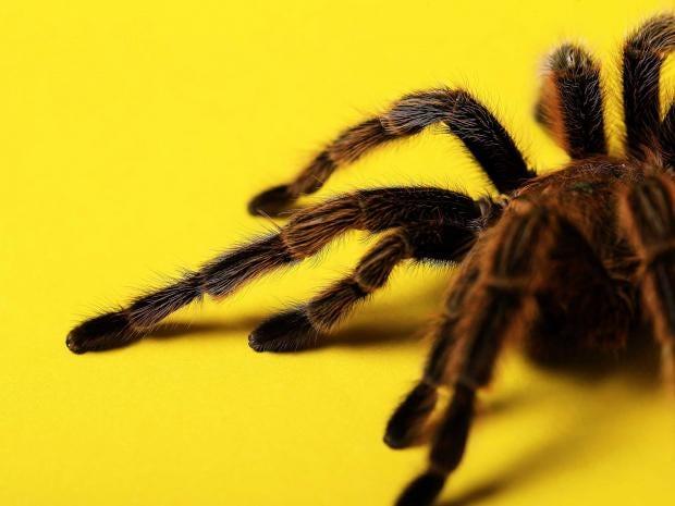 tarantula-rex.jpg