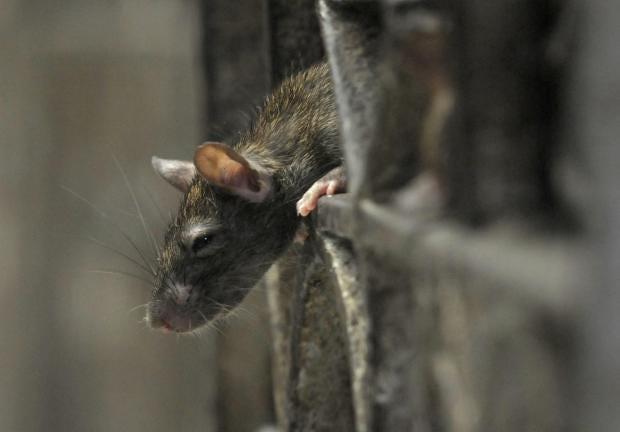 Rat-generic.jpg
