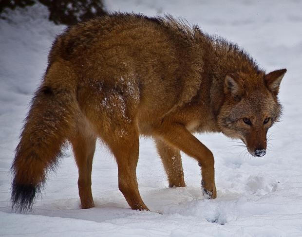 eastern-coyote-coyowolf.jpg