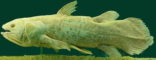 Coelacanth-commons.jpg