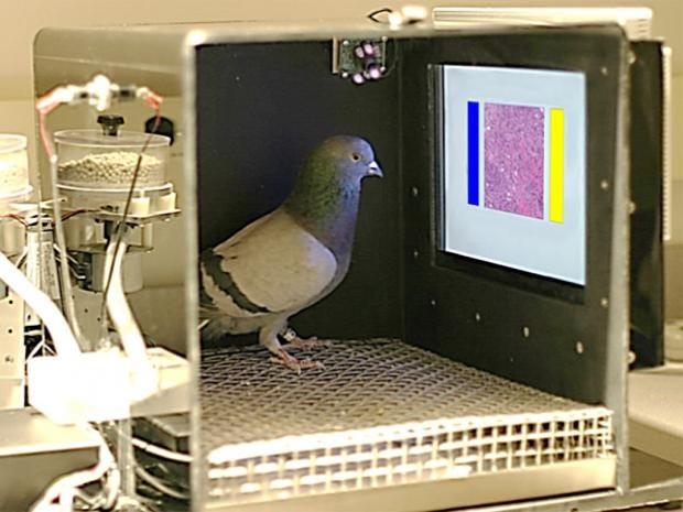 web-pigeons-cancer-pa.jpg