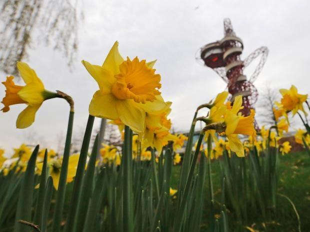 Daffodils-AP.jpg