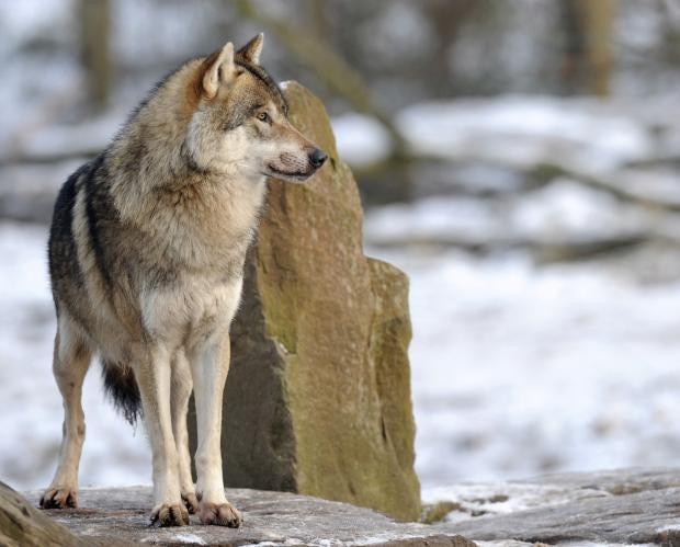 swedishwolf.jpg