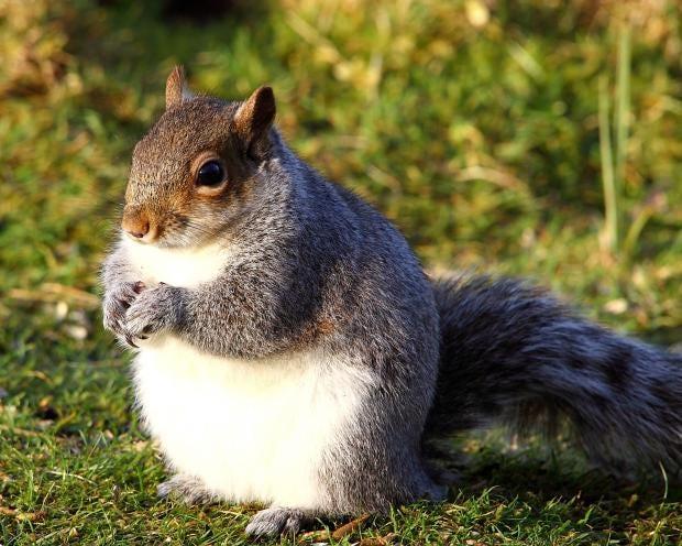 fat-squirrel-1.jpg