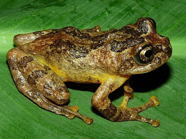 tree-Frog-extinct-india.jpg