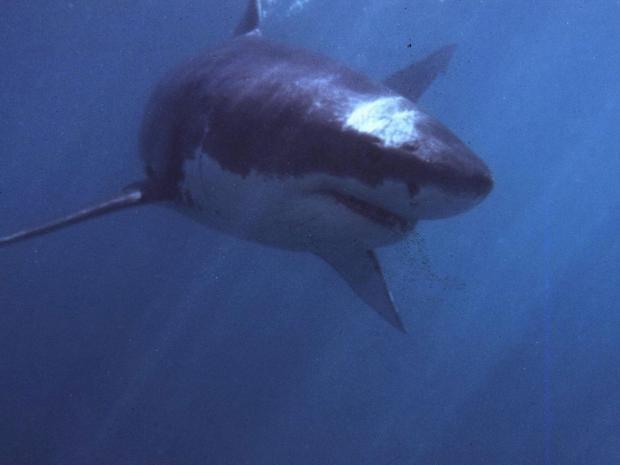shark12.jpg